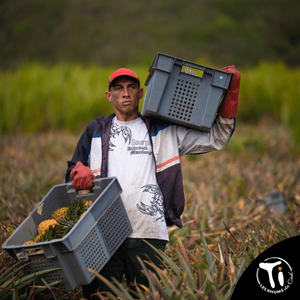 Producteur d'ananas Victoria sur l'île de la Réunion