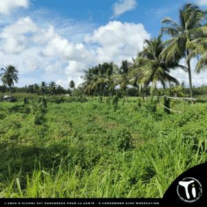 Ti Arrangés de Ced' Mangue Bois d'Inde (Guadeloupe)